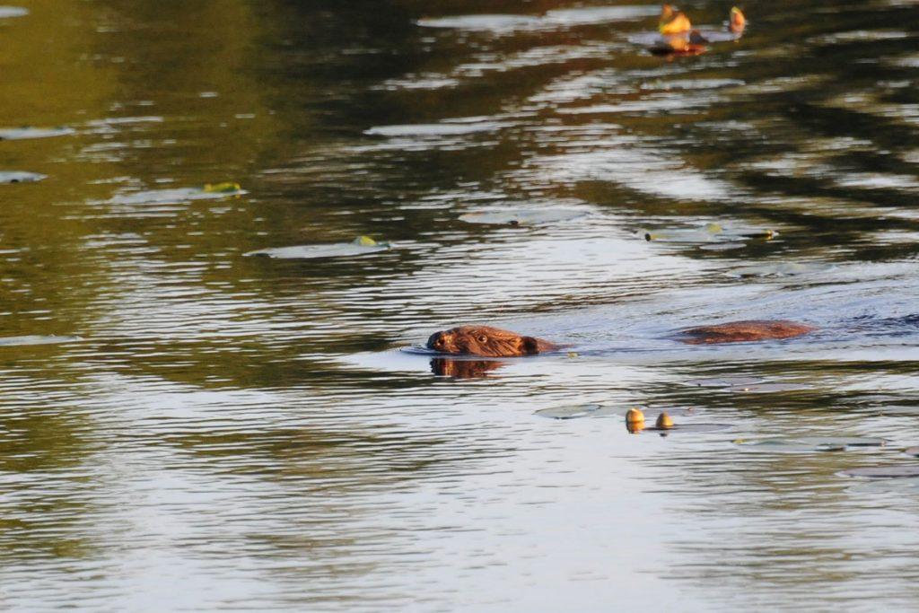 Bever Bäver Beaver