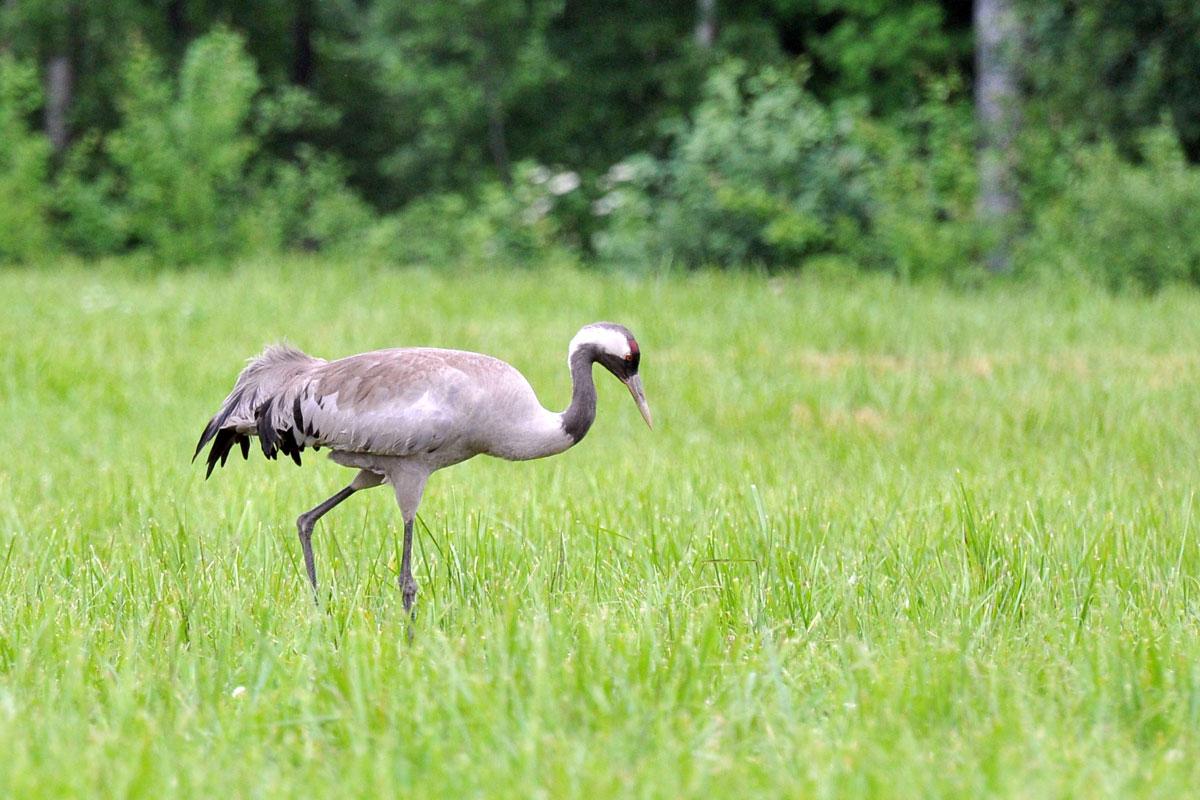 Kraanvogel Trana Crane